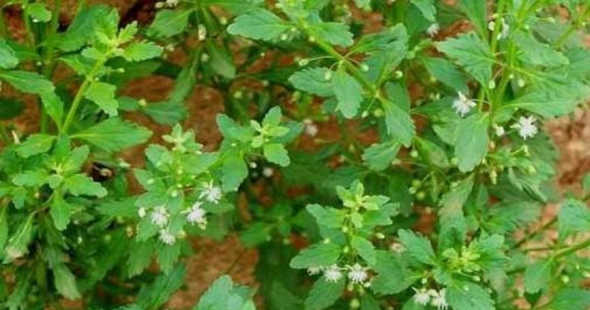 Cây cam thảo đất và những bài thuốc chữa bệnh
