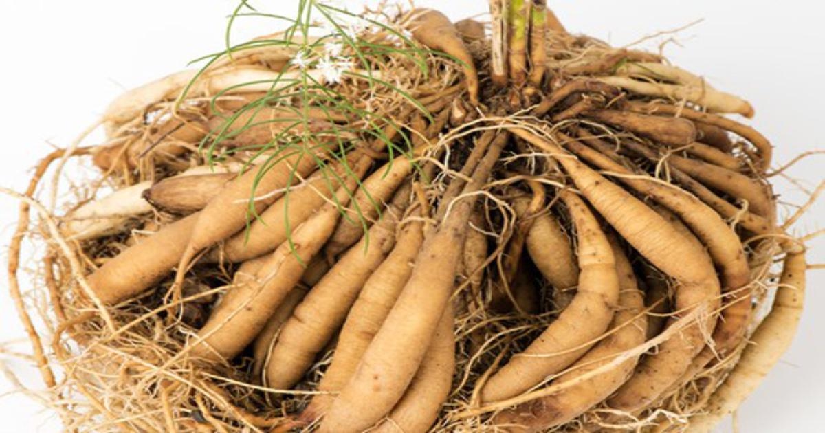 Cải thiện sinh lý nữ nhờ chiết xuất rễ cây Thiên môn chùm