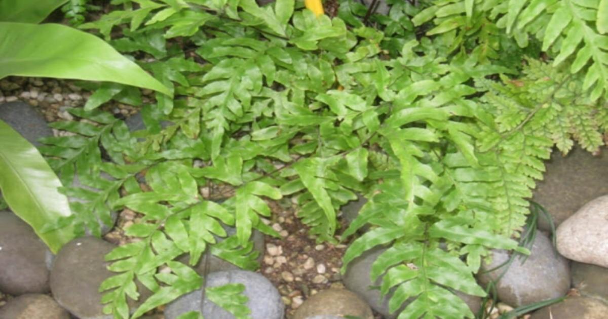 Cây cỏ luồng làm thuốc