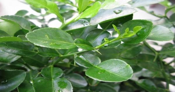 Công dụng thần kỳ chữa bệnh của lá chanh