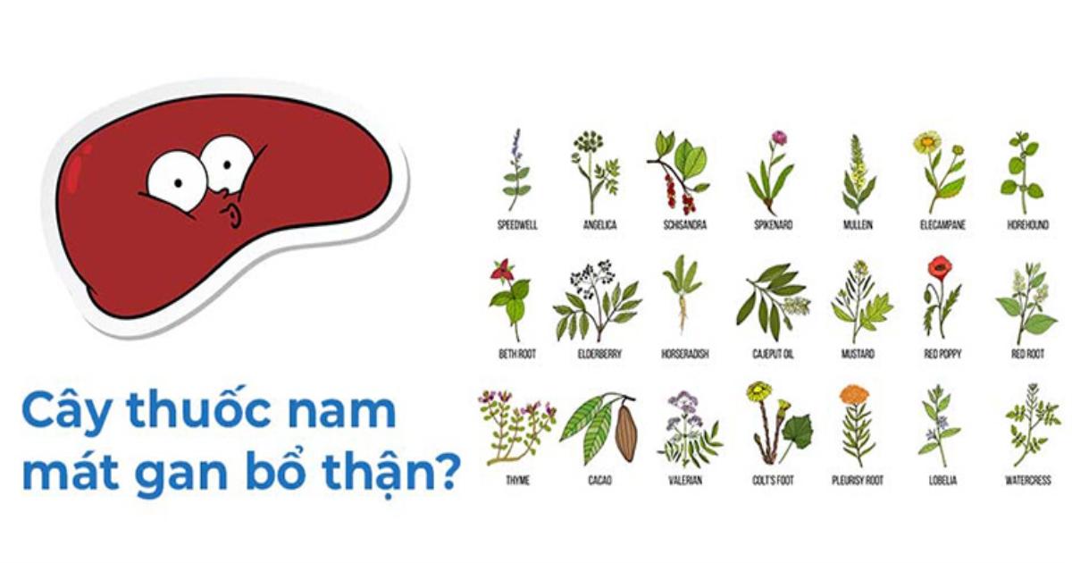 10+ Cây thuốc Nam bổ thận, mát gan hiệu quả và phổ biến