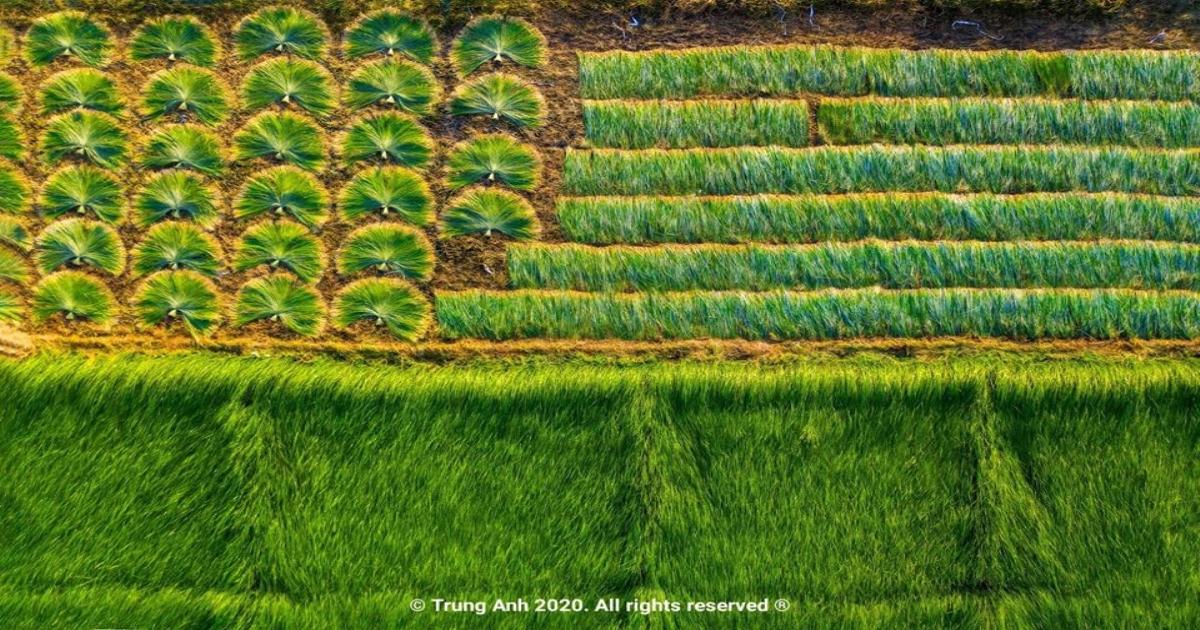 Vẻ đẹp siêu thực của cánh đồng cói Việt Nam