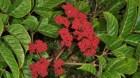 Cây dược liệu cây Gối hạc nhọn, Củ rối có mũi, Trúc vòng - Leea manillensis Walp (L. acuminata Wall., L. aurantiaca Zoll.,)