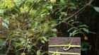Cây dược liệu cây Câu đằng bóng, Vuốt trái - Uncaria laevigata Wall. ex G. Dop