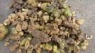 Cây dược liệu cây Hoàng tinh hoa đỏ, Hoàng tinh lá mọc vòng, Củ cơm nếp - Polygonatum kingianum Coll et Hemsl