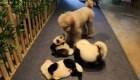 Dịch vụ nhuộm chó thành gấu trúc