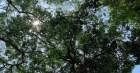 Hàng nghìn cây sao đen được Chủ tịch QH Nguyễn Thị Kim Ngân chỉ đạo trồng ở Hải Dương giờ ra sao?