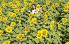 Vườn hoa hướng dương rực rỡ phố núi Pleiku hút khách tham quan