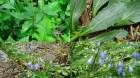 Cây dược liệu cây Nam sa sâm - Adenophora tetraphylla