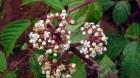 Cây dược liệu cây Gối hạc trắng, Củ rối mạnh - Leea robusta Roxb