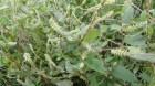 Những bài thuốc Đông y dùng cây cỏ xước chữa bệnh