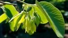 Cây dược liệu cây Ngọc lan tây lá rộng, Tai nghé, Sứ tây, Cây công chúa lá rộng - Cananga latifolia Finet et Gagnep