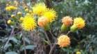 Cây dược liệu cây Bầu đất dại, Kim thất giả, Thổ tam thất, Ngải rít - Gynura pseudocchina (L.) DC