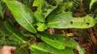 Cây dược liệu cây Đơn tướng quân, Trâm chụm ba, Cây rau chiếc - Syzygium formosum (Wall) Matsam, var. ternifolium (Roxb)