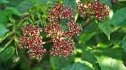 Cây dược liệu cây Gối hạc, Ðơn gối hạc, Củ rối, cây mũn - Leea rubra Blunne
