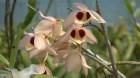 Cây dược liệu cây Thạch hộc lộng lẫy -Dendrobium pulchellum Roxb. ex. Lindl. (D. dalhousieanum Wall.)