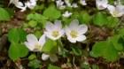 Cây dược liệu cây Chua me đất, Me đất chua - Oxalis acetosella L