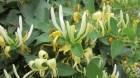 Cây Kim Ngân, kim ngân hoa và những bài thuốc chữa bệnh