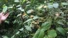 Cây dược liệu cây Câu đằng lá thon. Vuốt mũi giáo - Uncaria lancifolia Hutch