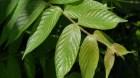 Cây dược liệu cây Câu đằng cành leo. Vuốt leo - Uncaria scandens (Smith) Hutch