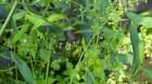 Cây dược liệu cây Sài hồ, diệp sài hồ, trúc diệp sài hồ, bắc sài hồ - Bupleurum chinesnis DC