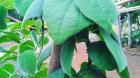 Cây dược liệu cây Dây sâm, Dây sâm lông, Dây mối, Sâm nam - Cyclea barbata Miers (C. peltata Hook. et Thw.)