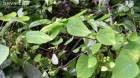 Cây dược liệu cây Cù dòm, Củ gà ấp - Stephania dielsiana Y.C. Wu