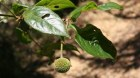 Cây dược liệu cây Câu đằng Trung Quốc - Uncaria sinensis (Oliv.), Havil