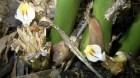 Cây dược liệu cây Sa nhân lưỡi dài, Mè tré bà, Hải nam sa nhân - Amomum longiligulara T. L. Wu