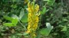 Cây lục lạc ba lá và những bài thuốc chữa bệnh thường dùng