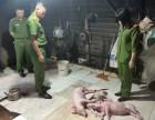 Hà Tĩnh: Phát hiện cơ sở mua lợn chết về quay bán cho khách