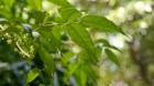 Cây dược liệu cây Câu đằng quả không cuống, Dây móc câu, Quáu - Uncaria sessilifructus Roxb
