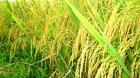 Cây dược liệu cây Lúa - Oryza sativa L