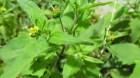 Bài thuốc trị phong thấp, mụn nhọt từ cây Hy thiêm: theo TS. Nguyễn Đức Quang