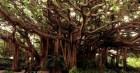 Lịch sử nhân loại dưới tán cây bồ đề