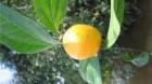 Cây dược liệu cây Hoàng nàn, Mã tiền lá quế, Vỏ đoãn - Strychnos wallichiana Stend. ex. DC. (S. gaulthierana Pierre ex Dop)