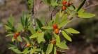 Cây dược liệu cây Niệt Dó - Wikstroemia Indica