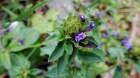 Cây dược liệu cây Nhân trần hoa đầu, Chè nội, Chè cát - Adenosma indianum (Lour.) Merr. (A. capitatum Benth. et Hance)