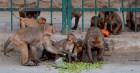 Đàn khỉ hung dữ tấn công, cướp mẫu máu xét nghiệm Covid-19