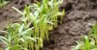 Cách trồng rau muống siêu nhanh siêu dễ đảm bảo chỉ 2 tuần thu hoạch
