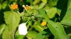 Cây dược liệu cây Bướm bạc quả nang, Bươm bướm, Hồ diệp - Mussaenda dehisens Craib