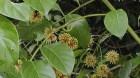Cây dược liệu cây Câu đằng, Vuốt lá mỏ - Uncaria rhynchophylla (Miq.) Jacks