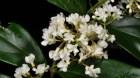 Cây dược liệu cây Đỗ trọng nam, Đỗ trọng dây - Parameria Laevigata (Juss.) Moldenke (P. barbata (Bl.) Schum)