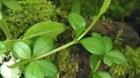 Cây dược liệu cây Rau càng cua bốn lá - Peperomia tertraphylla (Forst f) Hook et Arn