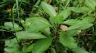 Cây dược liệu cây Bầu đất hoa vàng, Kim thất giả - Gynura divaricata (L.) DC