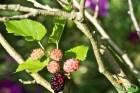Bài thuốc chữa ho có đờm bằng rễ cây dâu cực hay
