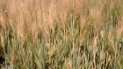 Cây dược liệu cây Lúa mạch - Hordeum vulgare L