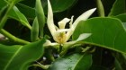 Cây dược liệu cây Ngọc lan hoa trắng - Michelia alba L