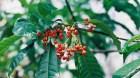 Cây dược liệu cây Ba gạc châu Phi hay Bầu giác - Rauvolfia vomitoria Afzel ex Spreng