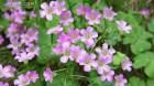 Cây dược liệu cây Chua me đất hoa hồng - Oxalis corymbosa DC. (O. martiana Zucc.)
